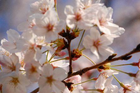 20100403sakura2.jpg