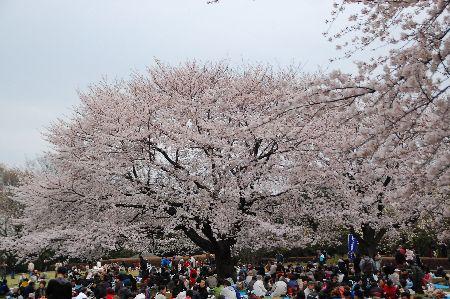 20100404sakura5.jpg