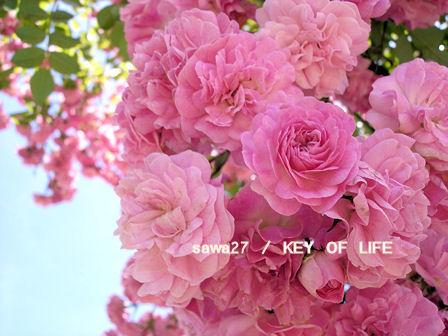 10021607の薔薇
