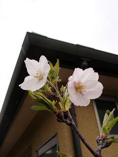 100405桜