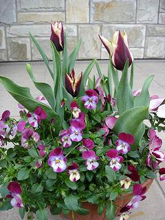 100416春の鉢