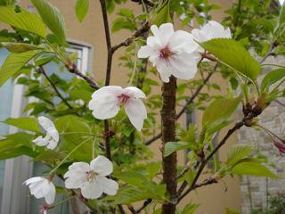 100416桜