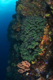 田子 フト根のナンヨウキサンゴ