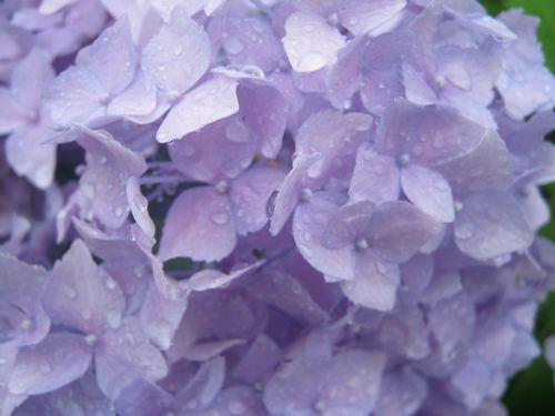 薄紫 紫陽花