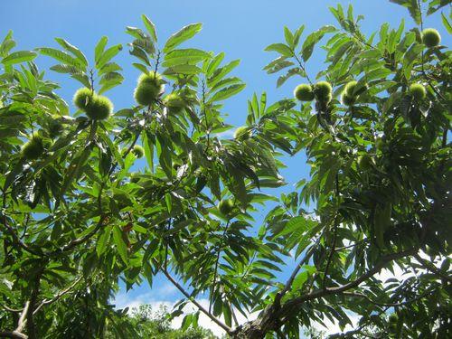青空と栗の木