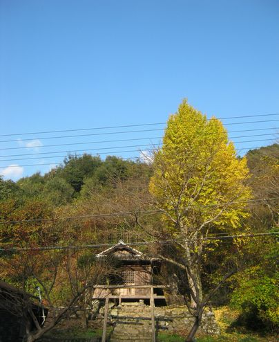 銀杏と神社
