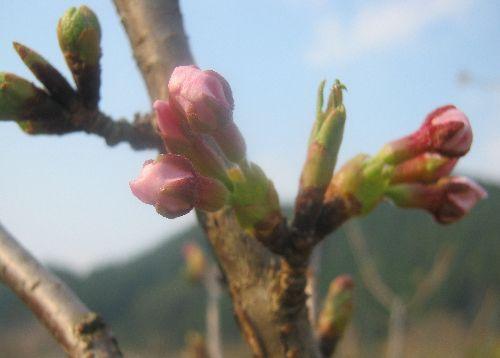 八重桜のつぼみ