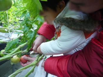 13 トマト狩り kai.jpg