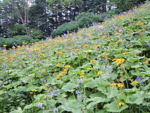 千枚小屋付近のお花畑