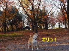 7秋と柴犬1
