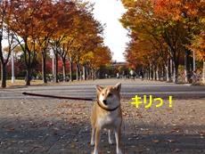 8秋と柴犬2