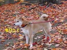 10秋と柴犬4