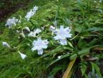 シャガの花-2