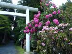 シャクナゲの花-2