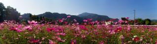 kosumosu_20111020162155.jpg