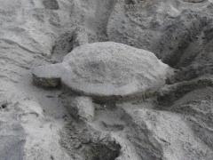 浜尻海岸 ウミガメ