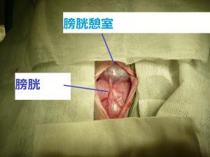 縮小 膀胱結石ペイント後