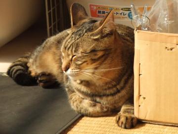 ミオ、ダンボール横・ゴムマット上で眠り横向き18-6001 幅350