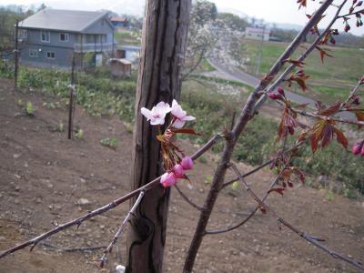 senbonsakura1-5.jpg