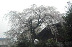 ハウスクリーニング・桜41