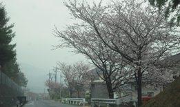 ハウスクリーニング・桜43