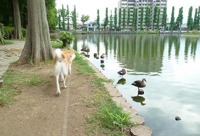 並ぶ鴨だワン