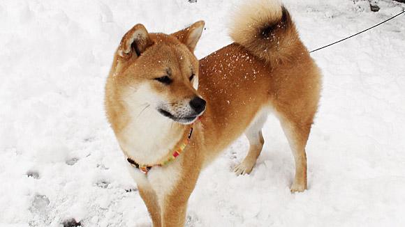 雪国の柴犬