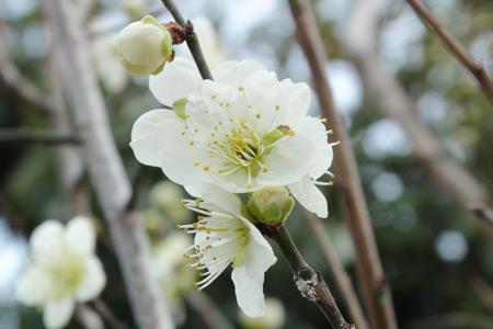 家の梅の花