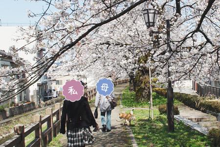 桜を見に松川べりへ