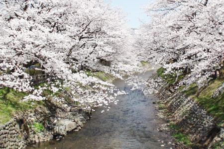 松川に咲く桜