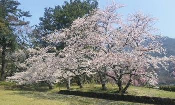 出雲大社の桜1