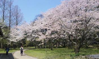 出雲大社の桜2