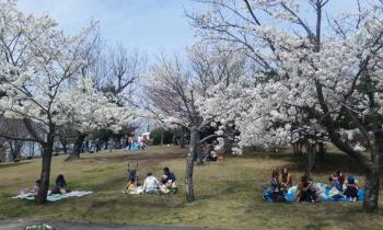 サファリの桜