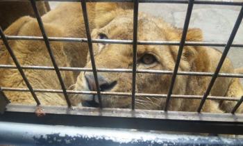 つぶらな瞳のライオン♀