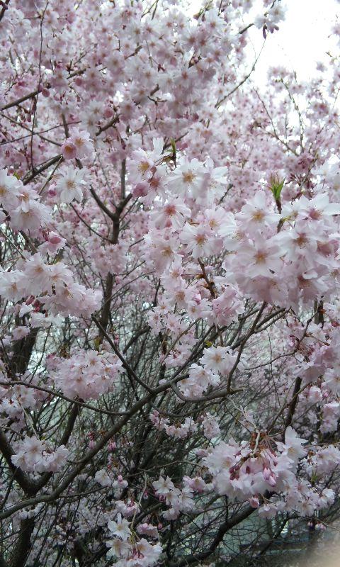 前橋の桜ドアップ