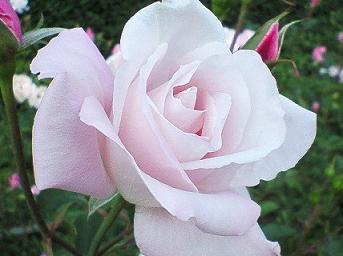 rosarosa.jpg