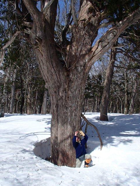 クロベの大木