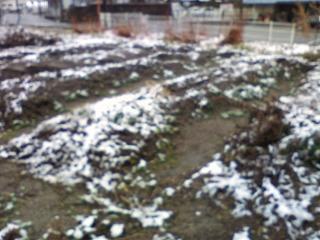 今朝雪が降りました。家庭菜園