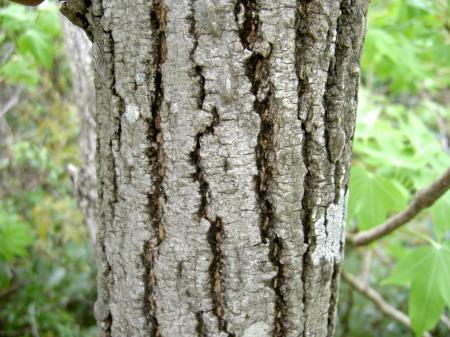 樹皮には溝がある