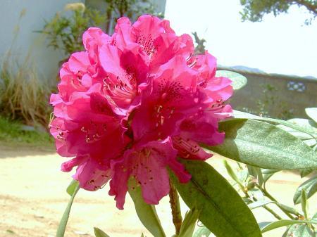 シャクナゲ園芸品種の「太陽」が満開