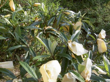 ビワは果実に袋をかけて栽培する