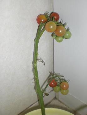 おりこうトマト