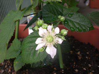 ブラックベリー花1