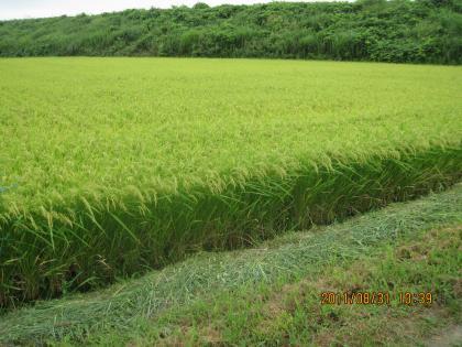 慣行栽培米(箱処理なし特別栽培米)