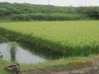 深水栽培米(炭素循環農法)その1