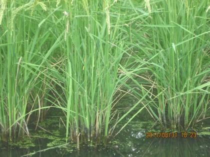 深水栽培米の茎