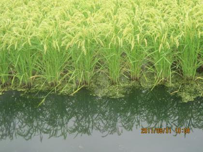 深水栽培米 サワミドロ