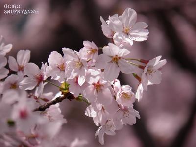 桜をみながら