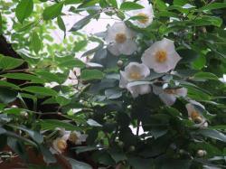 沙羅の花開花