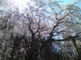 奥山田 しだれ桜 近め